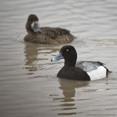 https://flic.kr/p/SWTU96 | Greater Scaup (Fuligule milouinan) | Images taken by hoan luong is licensed under a Creative Commons Attribution-NonCommercial-NoDerivs 3.0 Unported License.