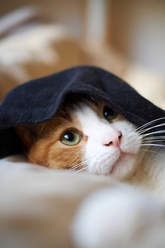 """""""A cat, determined not to be found, can fold itself up like a pocket handkerchief if it wants to."""" --Louis J Camuti"""