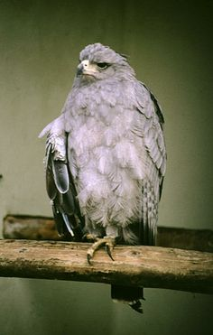 Crowned Solitary Eagle (Harpyhaliaetus coronatus) An adult perched.
