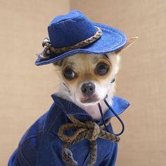 This Chihuahua