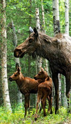Moose Twins, Anchorage, Alaska