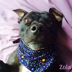 Zola the Staffie looking adorable in her midnight blue, glow in the dark, 'Stargazey Dude' bandana.