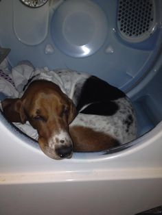 Not to mention awful at helping out with chores… Basset Puppies, Hound Puppies, Basset Hound Puppy, Dogs And Puppies, Beagles, Doggies, I Love Dogs, Cute Dogs, Hounds Of Love