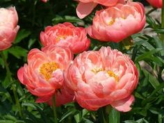 Peony from cancer
