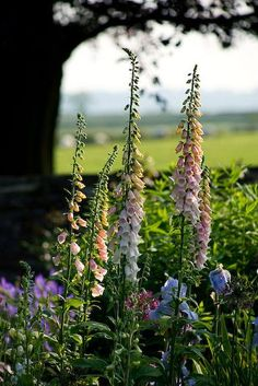 Foxgloves, in my view, are the quintessential English cottage garden flower. (The Old Rectory, Haselbech, Northamptonshire) #englishgardens