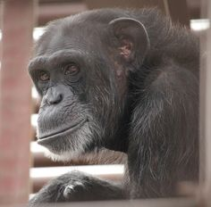 FOXIE CHIMPANZEE : She was born on 08/08/76 at Southwest Foundation for Biomedical Research in Texas. Now, at 39 years of age and living at Chimpanzee Sanctuary NW, she is best known for her love of troll and Dora dolls. When Foxie is content she rubs her together.