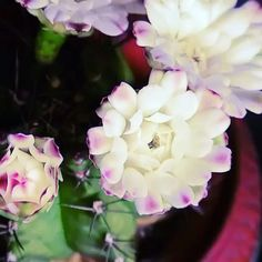 #ThrowbackThursday Number 2! This weeklong project was done in a dark room with specialty lighting. Stunning. Right? #Repost @brinno_global ・・・ The #Brinno #TLC200PRO makes a stunning #timelapse of blooming  #flowers. So Beautiful!!! One of the many great captures! #timelapsevideo #video #taiwan #taipei #flower #flowerporn #beauty #love #cactus #HDR #BrinnoLife #Timecaptured #TimelapseVideo  #Flowerstagram #Tech #Technology #Gadgets