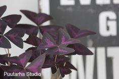 Sisäkukissa on vain muutama tummalehtinen kasvi, ja tämä kolmiokäenkaali – Oxalis triangularis, on yksi kauneimmista. Se on kaikenlisäksi tosi helppo ja kukkiikin hennon vaaleanpunaisin kukin. Näin valon vähetessä se alkaa siirtyä talvilepoon.  Yöksi lehdet …