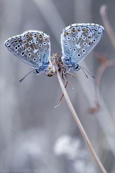 *Butterflies (by Suren Manvelyan)