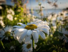 Daisies by George Oancea on 500px