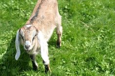 natural goat care mother earth news - includes herbal help for pregnant does, lactation booster, scour treatment and herbal dewormer
