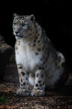 Big Cats - Endanger Snow Leopard - by David Whelan