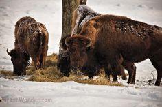 Buffalo Herd Grazing Grass Winter Snow