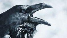 Raven: Bird, Myth, Legend with Mary Beth Kaeser and Gerri Griswold – White Memorial Conservation Center Raven Pictures, Gif Terror, Vikings, Beautiful Dark Art, Raven Bird, Crows Ravens, Dark Tattoo, Spirit Animal, New Art