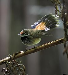 The Rufous Fantail (Rhipidura rufifrons) is a small Passerine bird,[3] most commonly known also as the Black-breasted Rufous-fantail or Rufous-fronted Fantail, which can be found in Australia, Indonesia, New guinea and the Solomon Islands.