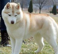 Wonderful All About The Siberian Husky Ideas. Prodigious All About The Siberian Husky Ideas. Alaskan Husky, Siberian Husky Dog, Husky Puppy, Alaskan Malamute, Akita Puppies, Dogs And Puppies, Huskies Puppies, Doggies, Most Beautiful Dogs