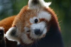 The cutest animal in the world is red panda, there is no discussion about that. Some other animals and things may come close but never quite reach the level. We can take the cuteness of one red panda Red Panda Cute, Panda Love, Photo Panda, Animals And Pets, Funny Animals, Wild Animals, Animal Tumblr, Amor Animal, Jolie Photo