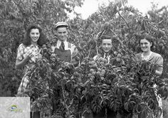 Axford family peach orchard, West River Road, circa 1930s   by Elgin County Archives