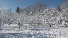 Video about Winter scene in park - snow covered trees in a sunny frosty day. Video of outdoor, freeze, snowy - 65414227 Winter Szenen, Snow Covered Trees, Stock Video, Vectors, Scene, Stock Photos, Park, Nature, Outdoor