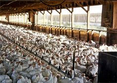 The reason I will have my own farm...the average American consumes 80lbs. of factory farmed chicken annually.