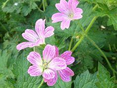Perennial geranium close up