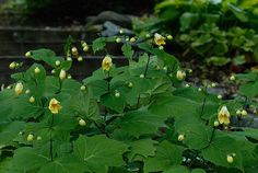 Kirengeshoma palmata Yellow waxbells bloom mid-late summer, bright green foilage.  Substance for the shade garden...