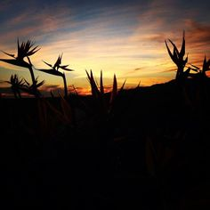 Birds of Paradise at sunset.