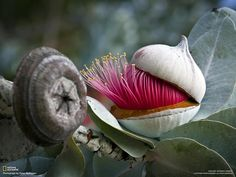 """The Eucalyptus macrocarpa, or Mottlecah native to south-west of Southern Australia """"Some people worry that artificial intelligence will make us feel inferior, but then, anybody in his right mind should have an inferiority complex every time he looks at a flower."""" ~ Alan Kay Photo by Peter Nydegger."""