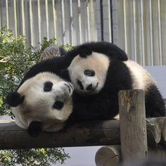 みり(*˘︶˘*).。.:*♡さんはInstagramを利用しています:「わたしのパソコンの壁紙です。 2018-03-27撮影📷 写真は前に🆙してるかもしれませんが… シンシン🐼の手がね…愛に溢れていて好きなショットです✨ 明るさやピントなどこれから色々少しずつ勉強していきたいです。 オバなので進捗に期待はできませんが(笑) * 無修正…」 Panda Love, Love Bear, Cute Panda, Baby Animals Pictures, Cute Baby Animals, Animals And Pets, Panda Family, Baby Cubs, My Spirit Animal