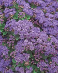 Artist Blue Ageratum will carpet your landscape in purple, all season long. This is one tough, and no-care required variety. Very heat tolerant. Amazing Flowers, Purple Flowers, Wild Flowers, Beautiful Flowers, Purple Plants, Flowering Shrubs, Pansies, Amazing Nature, Flower Power