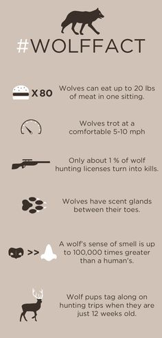 skunkbear:  These are some #wolffacts compiled by Becky Lettenberger — one of the rock stars behind NPR's in-depth, beautiful look at the human/wolf conflict/confluence in Montana.
