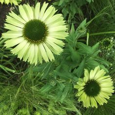 Coneflower 'Green Jewel'