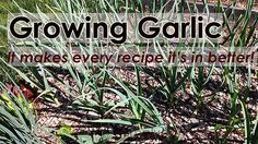 Growing garlic is easy and It makes every recipe it's in better.