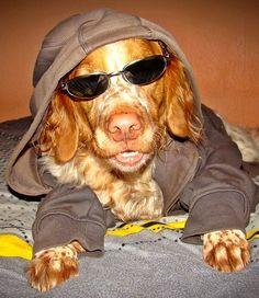 Epagneul Breton Falco  Chill out mit Falco       Mehr lesen: http://d2l.in/8g  dogs2love - Gassi gehen zum Verlieben. Partnerbörse für alle, die Hunde lieben.  Foto, Hund, Partner, Rasse