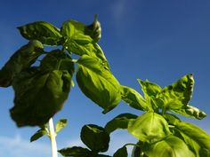 7 tips for growing large & luscious basil plants