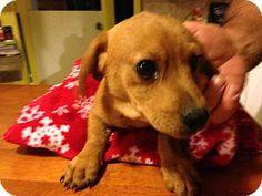 Cranford, NJ - Basset Hound/Dachshund Mix. Meet Logan, a puppy for adoption. http://www.adoptapet.com/pet/12123079-cranford-new-jersey-basset-hound-mix