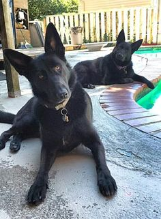 My two black German Shepards on splash patrol at my swimming pool.