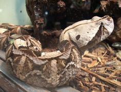Gaboon Viper: WhoZoo Gaboon Viper, The Venom, Snakes, Wolf, Wildlife, African, Beautiful, Animaux, Snake