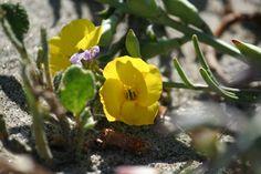 Beach Primrose (Cammisonia cheiranthifolia) — at Crissy Fields, San Francisco. (Photo by Leilah Thiel)