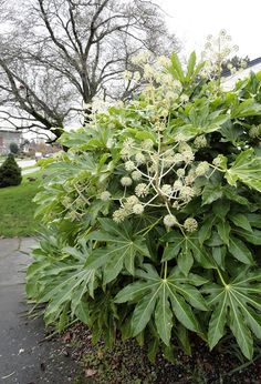 Tropical look for COLD climates / Fatsia japonica