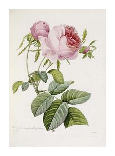lino | Розы Императрицы Жозефины