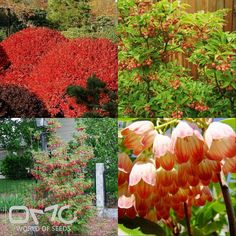 REDVEIN ENKIANTHUS (Enkianthus Campanulatus palibini) 50+ seeds -Soil PH - Acidic Soil type - Prefers moist, organically rich, peaty soils Water requirements - Average, well drained Landscape uses - Specimen, group or mass in the landscape. Shrub borders, foundations