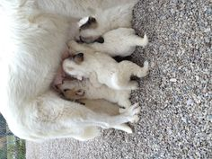Great Pyrenees nursing, at Feathers And Fleece Farm.  FAST FOOD!