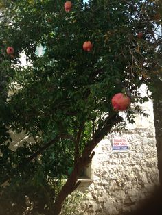 Is it the mad pomegranate tree that combats the skies of the world?