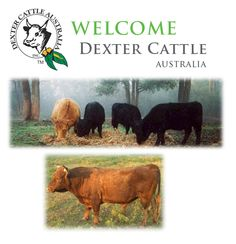 Welcome to the Official Dexter Cattle Australia Inc. (DCAI) website The complete Dexter Cattle Information Portal is open to all interested visitors. Dexter Cattle, Mini Cows, Beef Cattle, Small Farm, Small Breed, Livestock, Sheep, Dairy, Australia