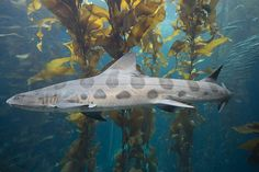 Hundreds of these leopard sharks were swarming in San Diego for the last few weeks...