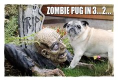Zombie pug