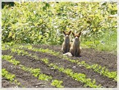 おすわり・・・キタキツネ 畑の端に目を向けると 居ました~! おすわりをして こっちを見てる?なんて お行儀のいい子たちなの(笑)(望遠 遠いので画像が荒いです)