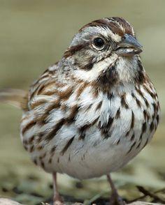 Song Sparrow | Audubon Field Guide
