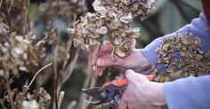 Beim Schneiden von Hortensien sind viele Hobbygärtner unsicher, da für die verschiedenen Hortensienarten unterschiedliche Schnittregeln gelten. Hier erklären wir Ihnen, worauf Sie achten müssen.